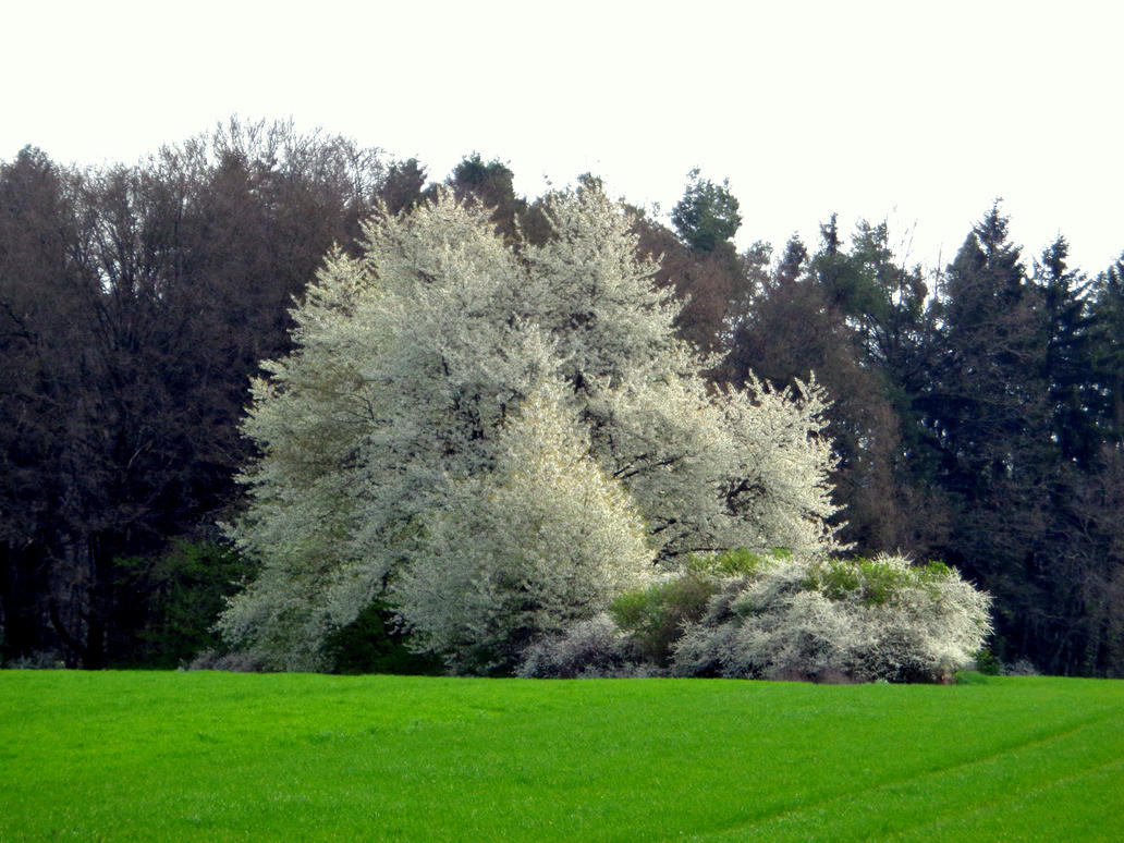 blooming bushes by Mittelfranke