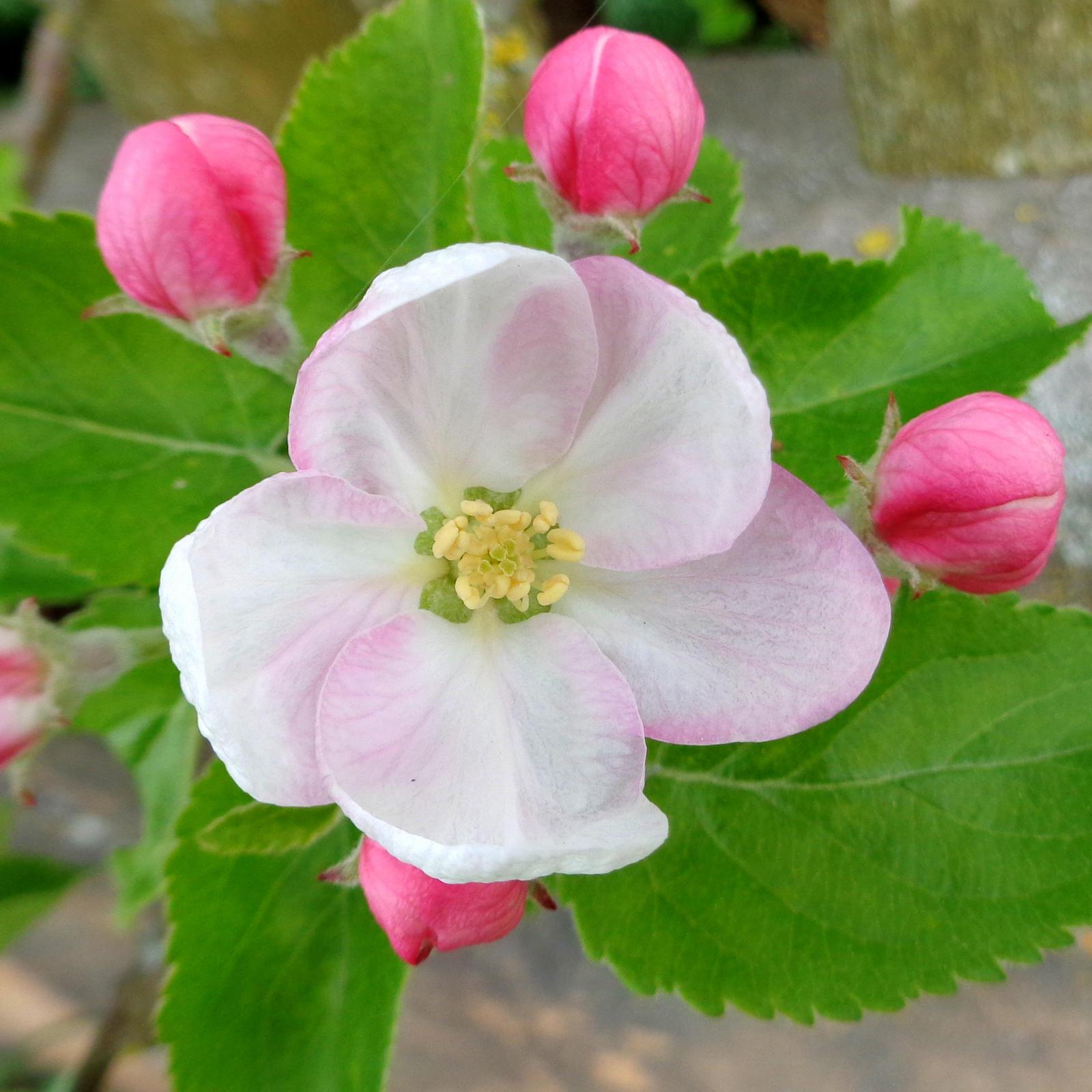 apple blossom #1 by Mittelfranke