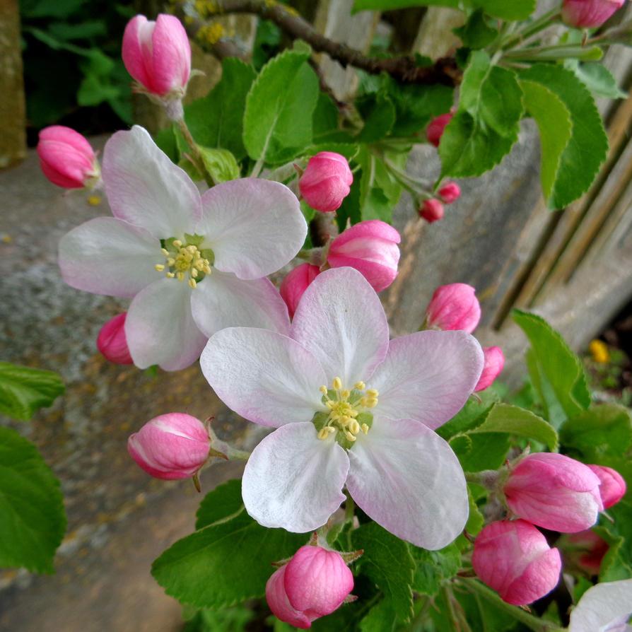 apple blossom #2 by Mittelfranke