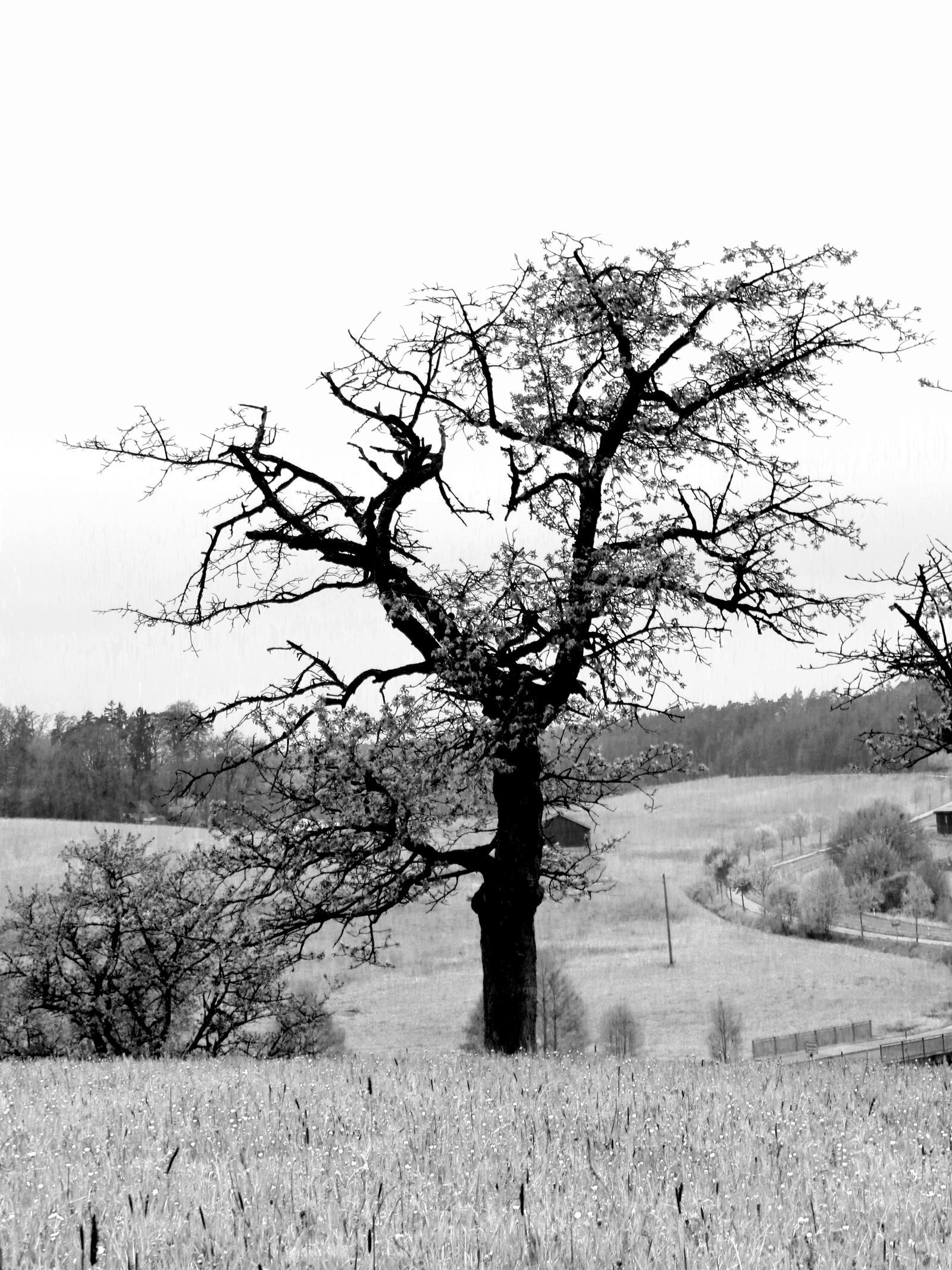 apple tree bw by Mittelfranke