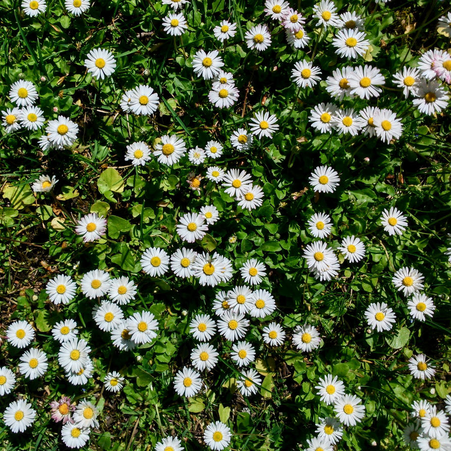 daisies by Mittelfranke