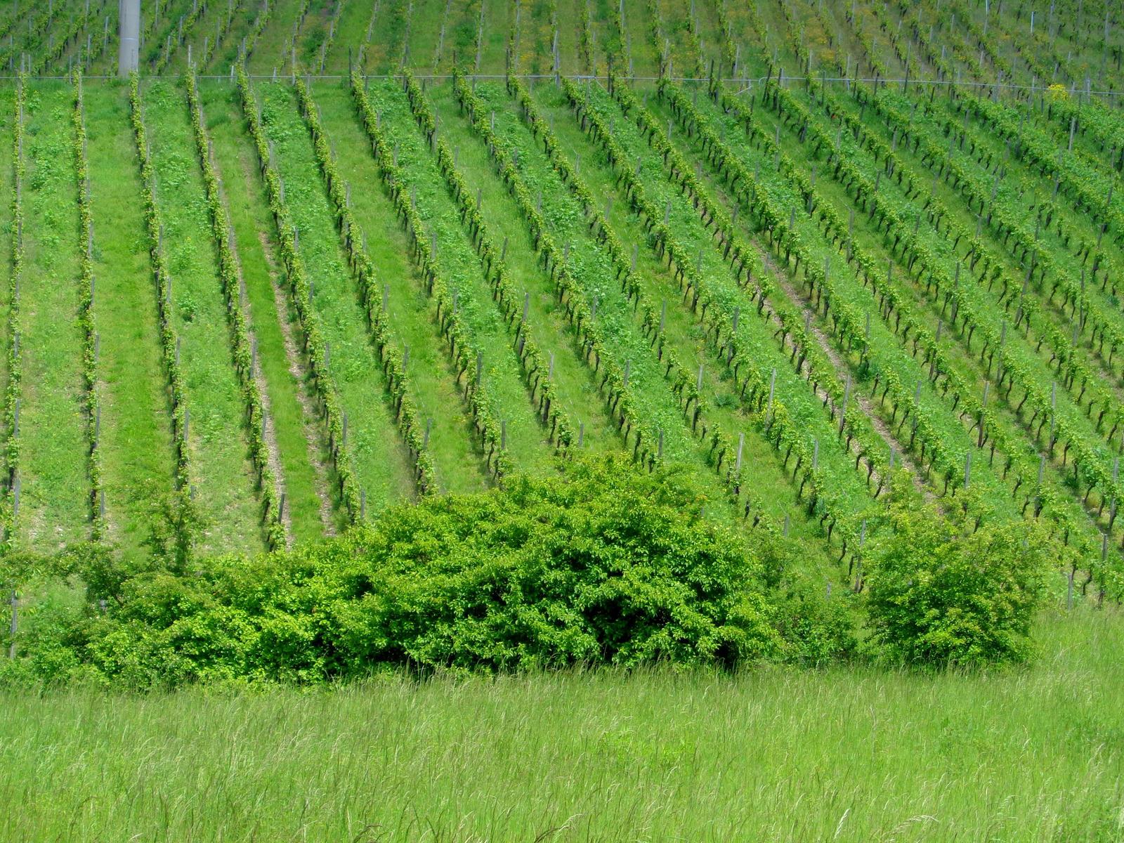 franconian vineyard by Mittelfranke