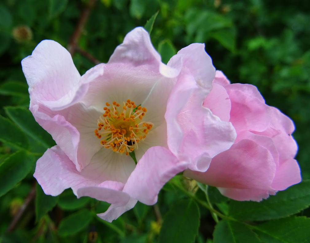 dog rose #2 by Mittelfranke