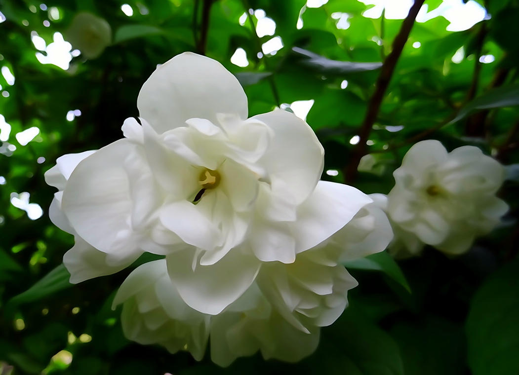 white blossom by Mittelfranke