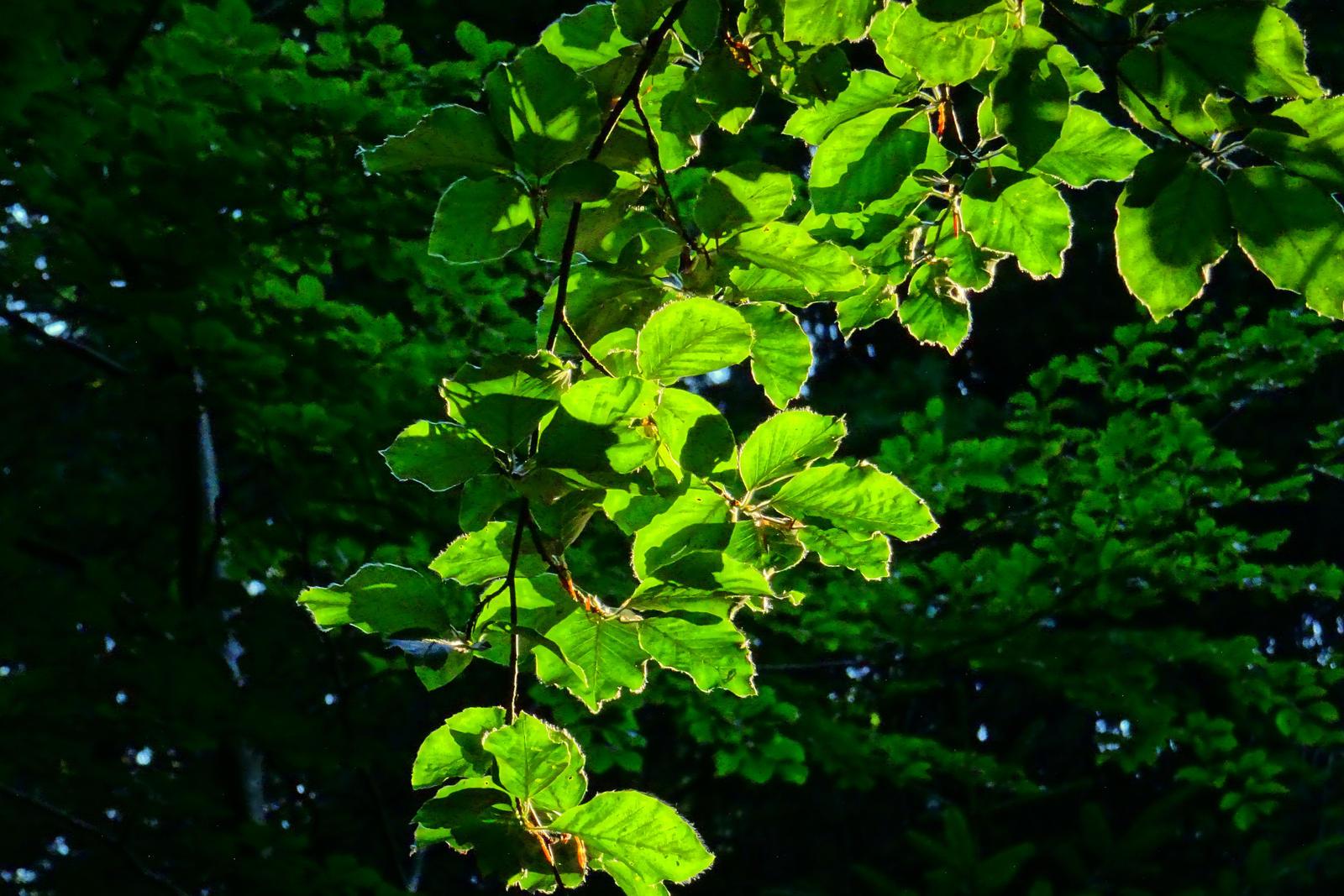 beech leaves by Mittelfranke