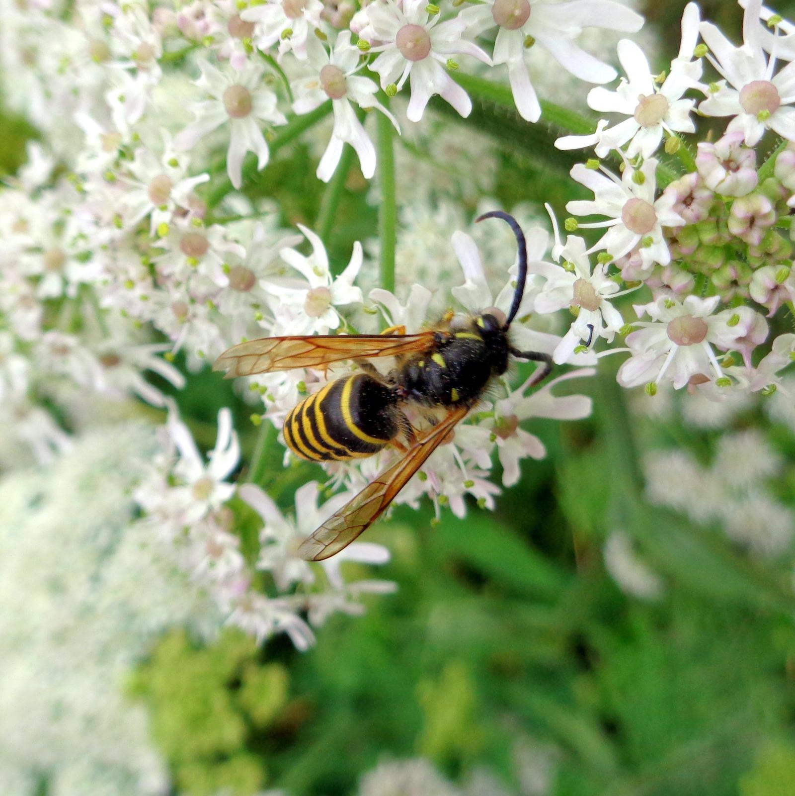 wasp by Mittelfranke