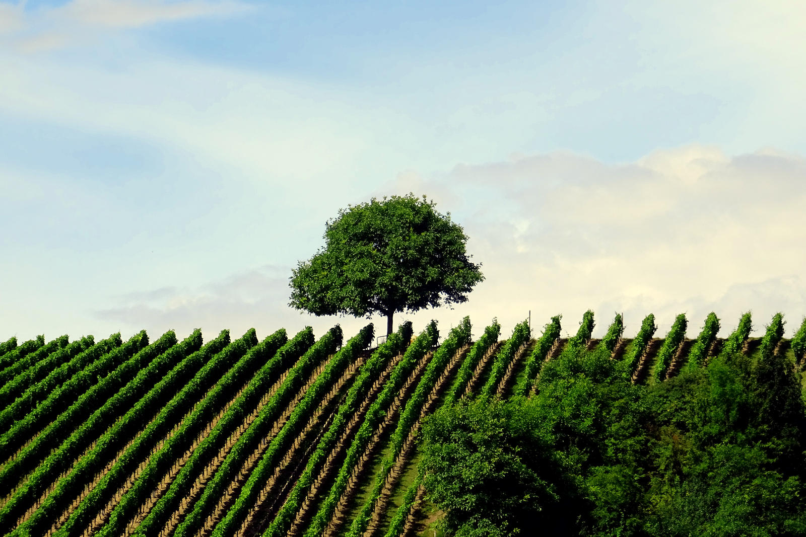 vineyard and tree by Mittelfranke