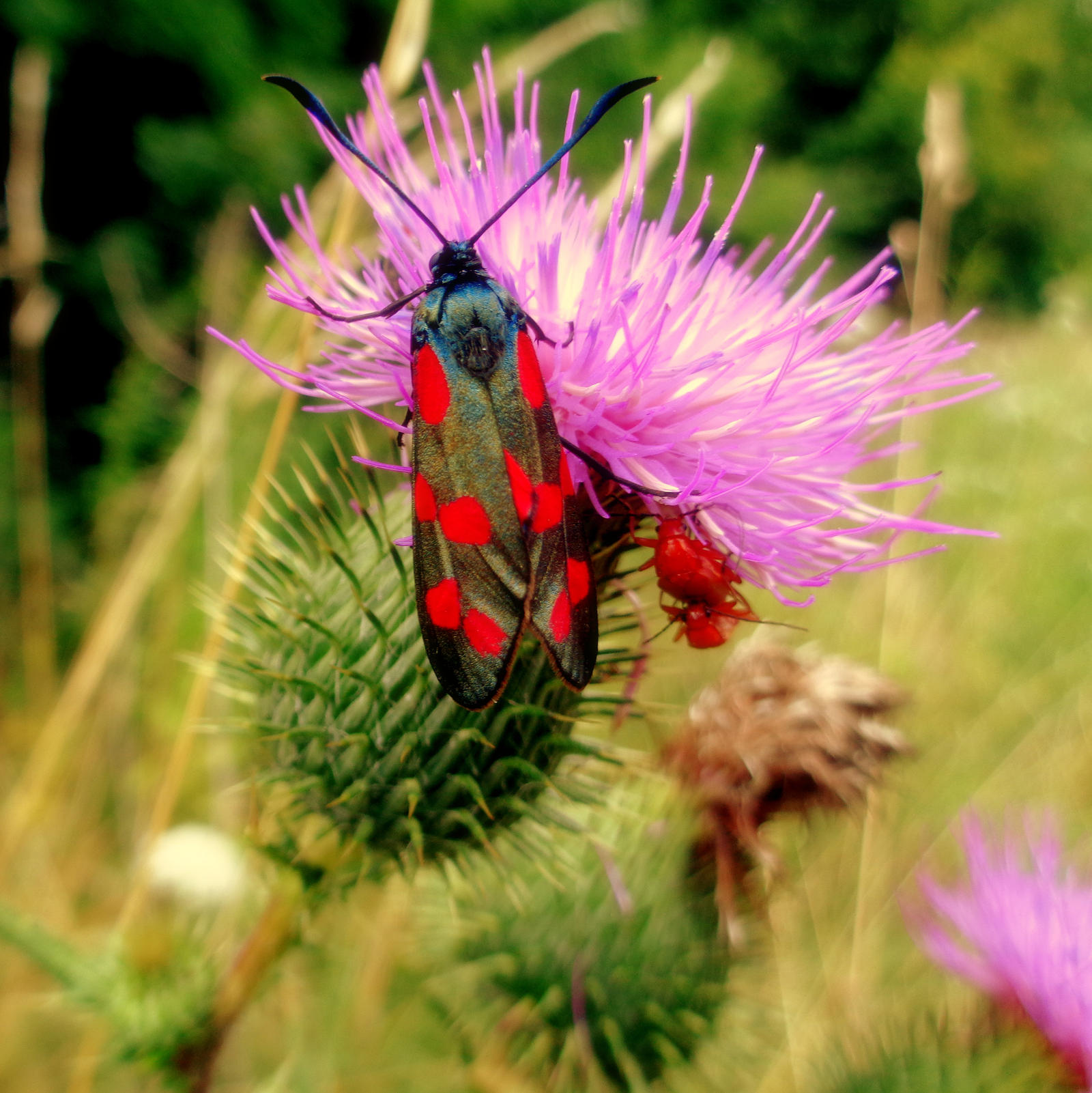 nine-spotted moth on thistle by Mittelfranke
