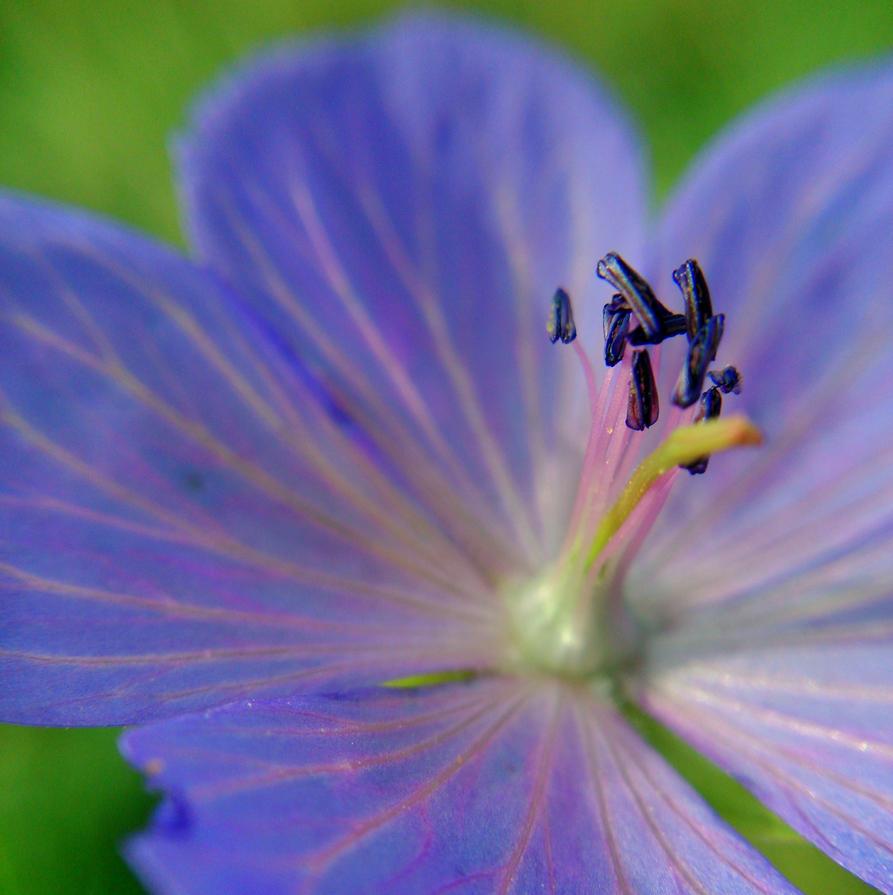 lilac#2 by Mittelfranke