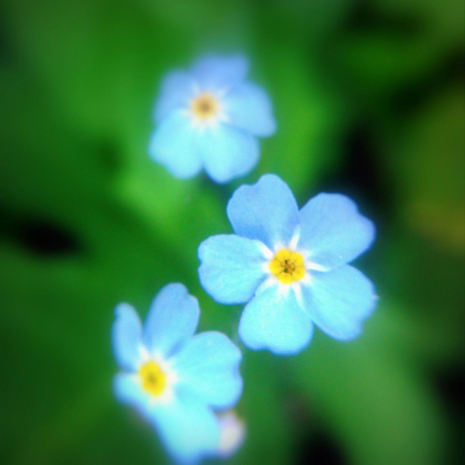 blurred blossom by Mittelfranke