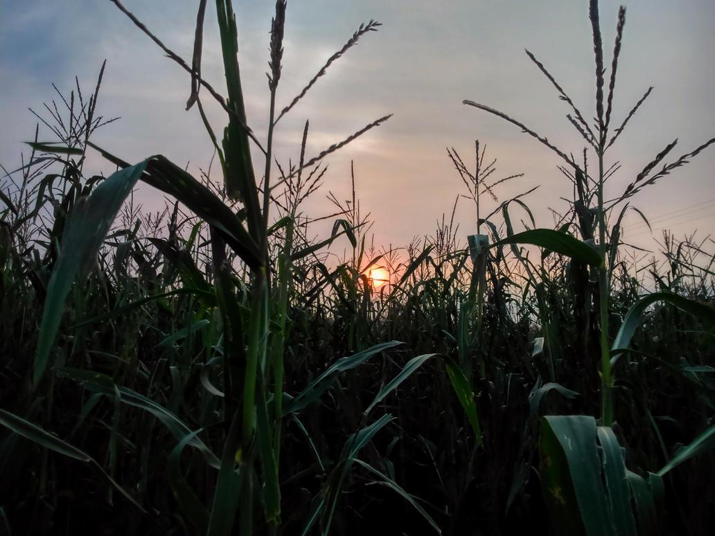 maize by Mittelfranke