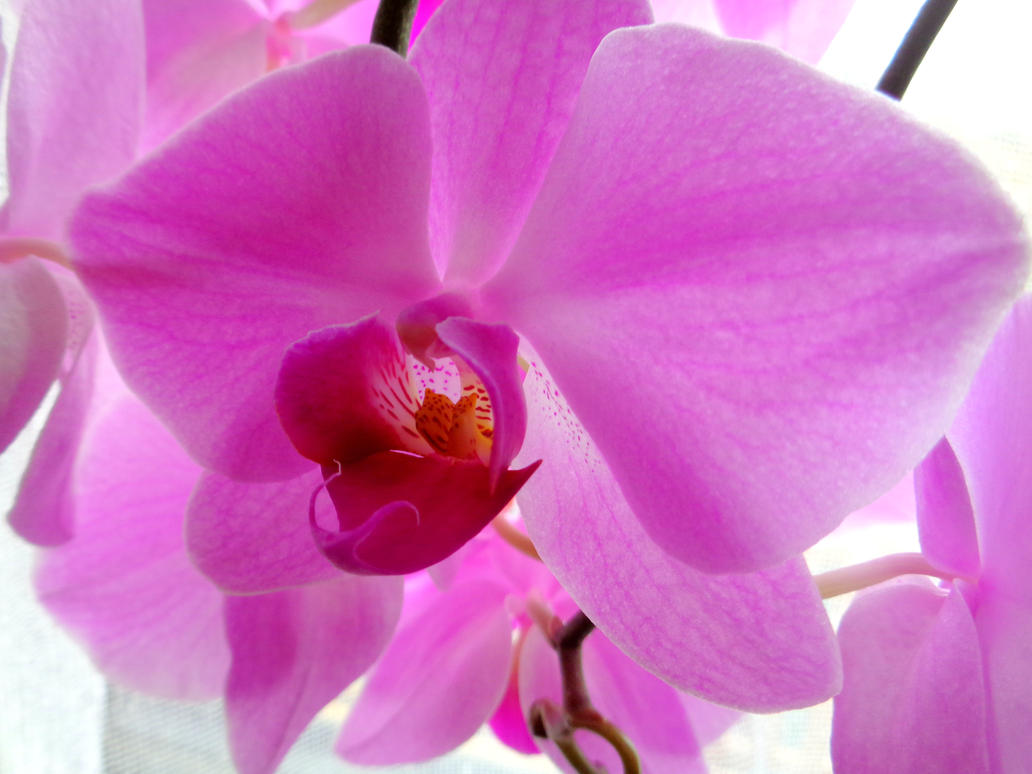 orchid by Mittelfranke