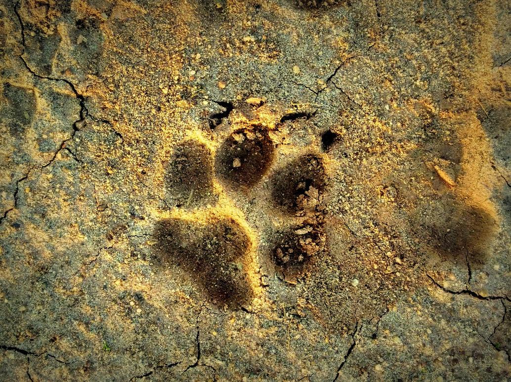 pawprint by Mittelfranke