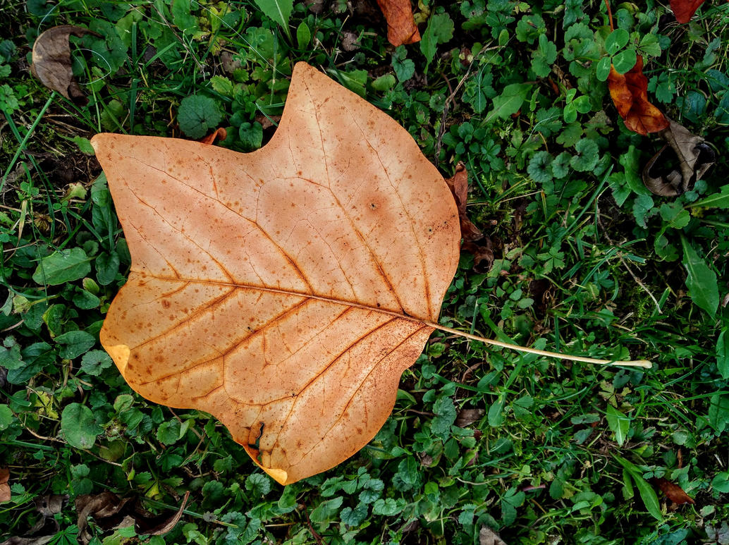 autumn leaf by Mittelfranke