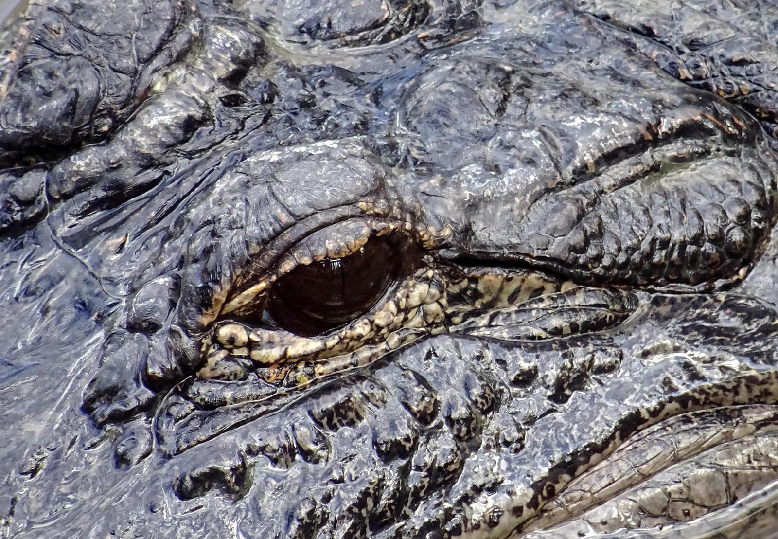 gator eye by Mittelfranke
