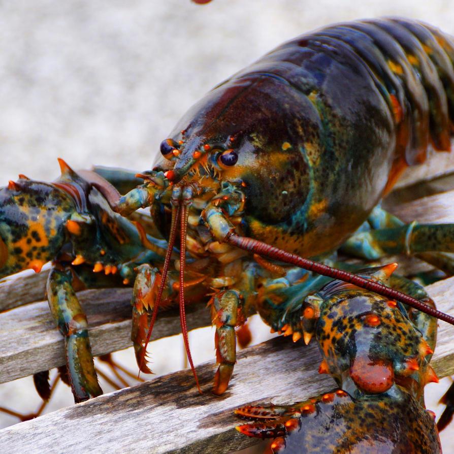 lobster by Mittelfranke