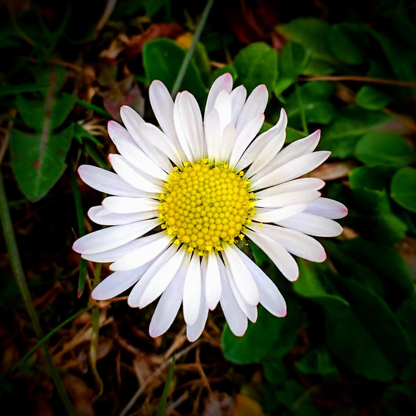 daisy by Mittelfranke