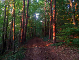 evening in the forest #2
