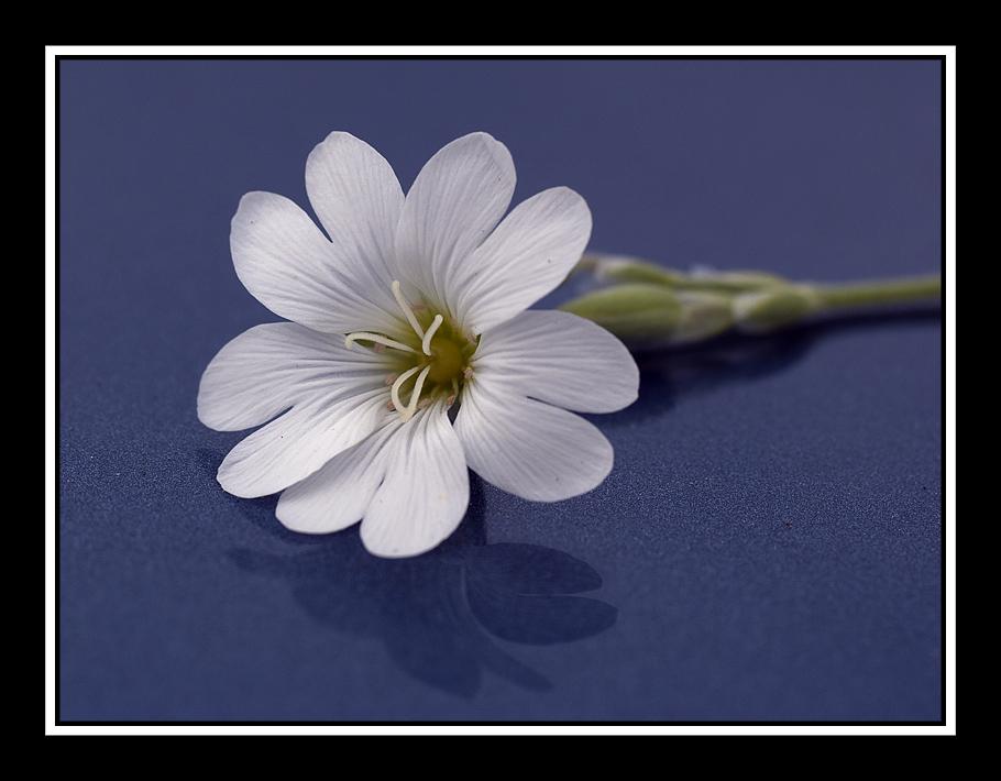 CVECE Flower_50_by_digitaldedon-d3bmcjw