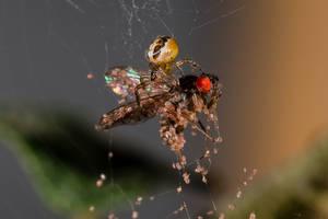 Hatchling Golden Orb Spider with Fruit Fly by Satriver