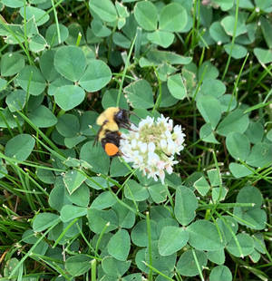 Clover Bee