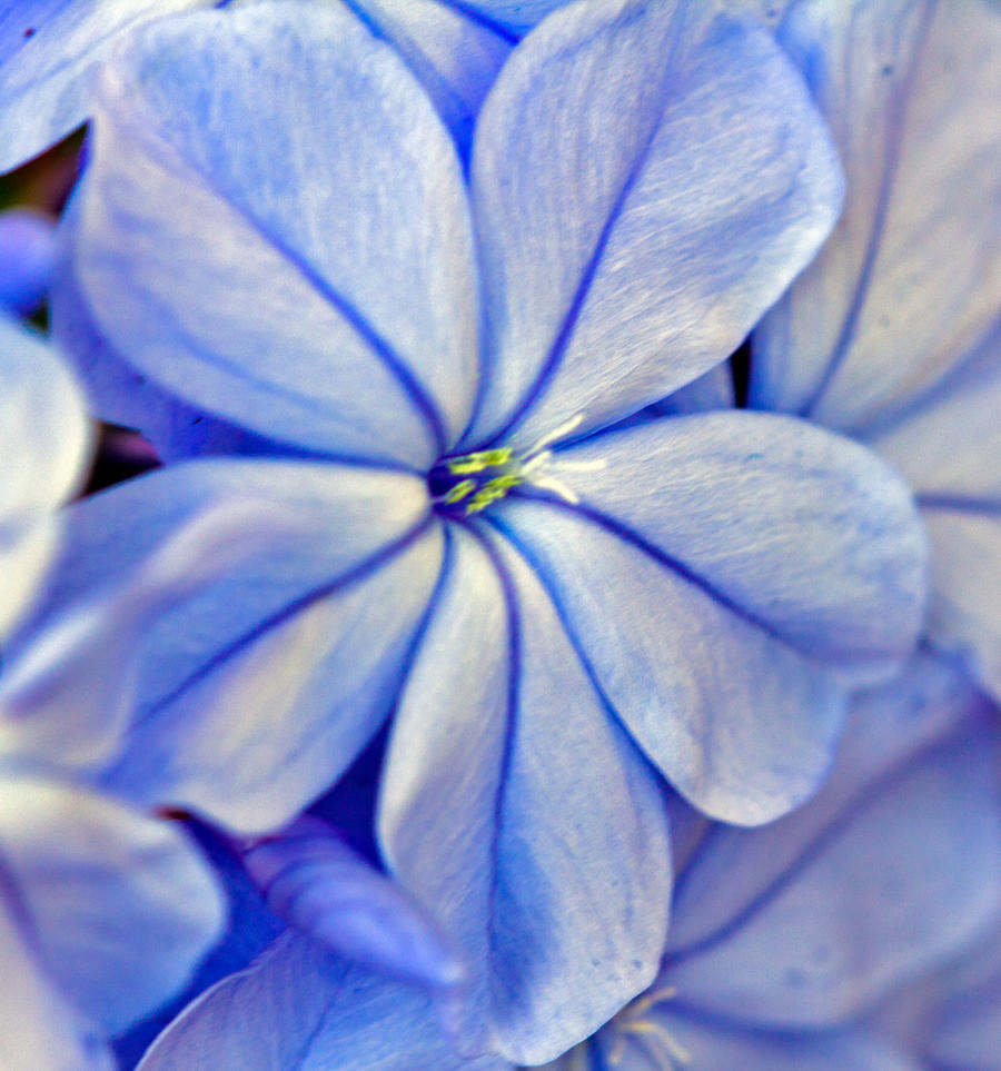 Plumbago by drewii57