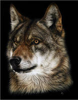 Wolf Study by CristinaPenescu