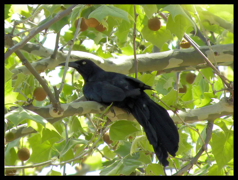 Grackle by SuicideBySafetyPin