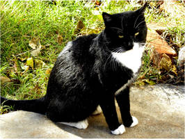 Tuxedo the Cat by SuicideBySafetyPin