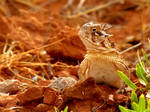 Horned Toad 2011