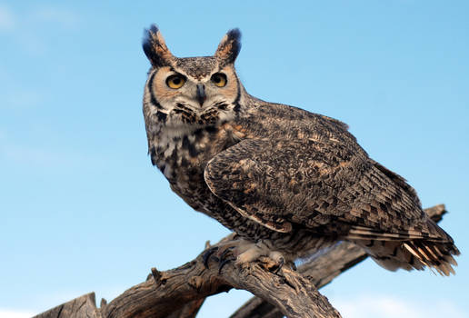 Great Horned in the Sonora Desert