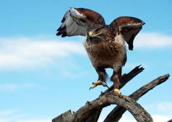 Ferruginous hawk in the Sonoran Desert by SuicideBySafetyPin