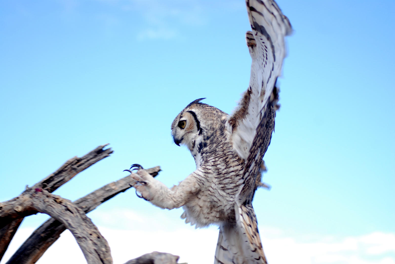 Great Horned Landing by SuicideBySafetyPin