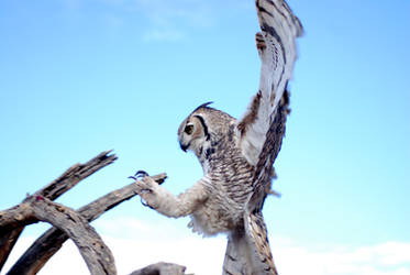 Great Horned Landing