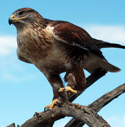 Ferruginous hawk in the Sonora Desert