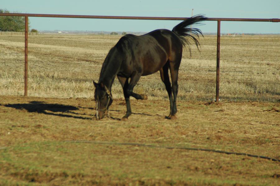 Dark Bay Quarter Horses Dark Bay Horse Stock 33 by