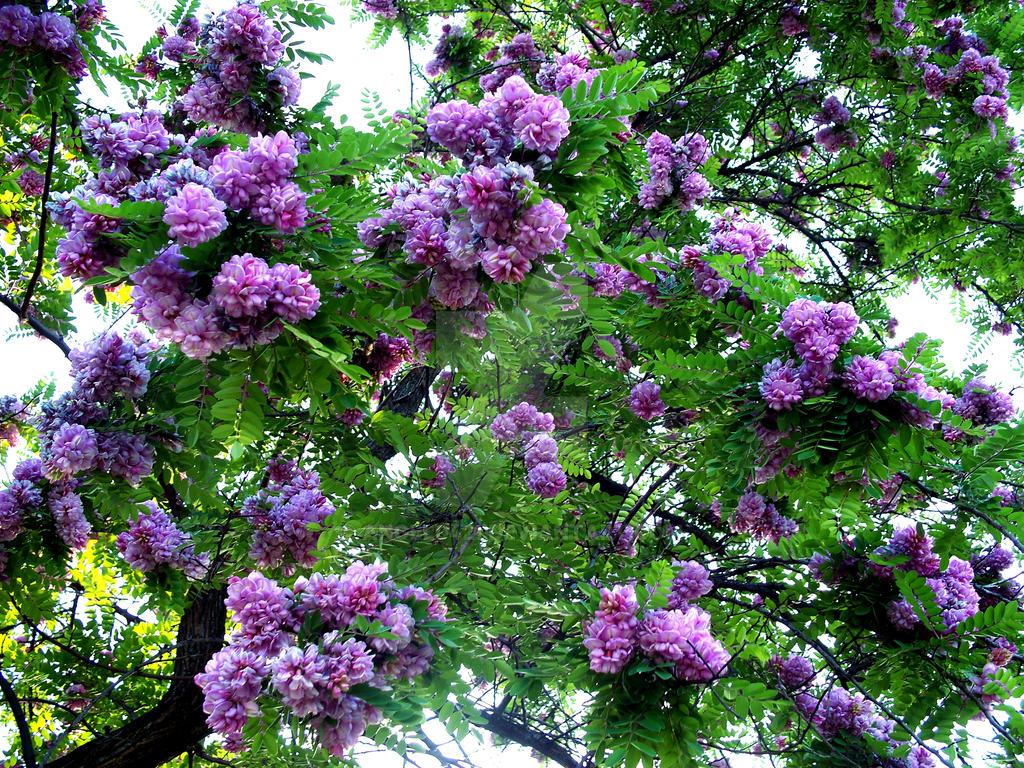 Purple Acacia Tree By Angel0421 On Deviantart