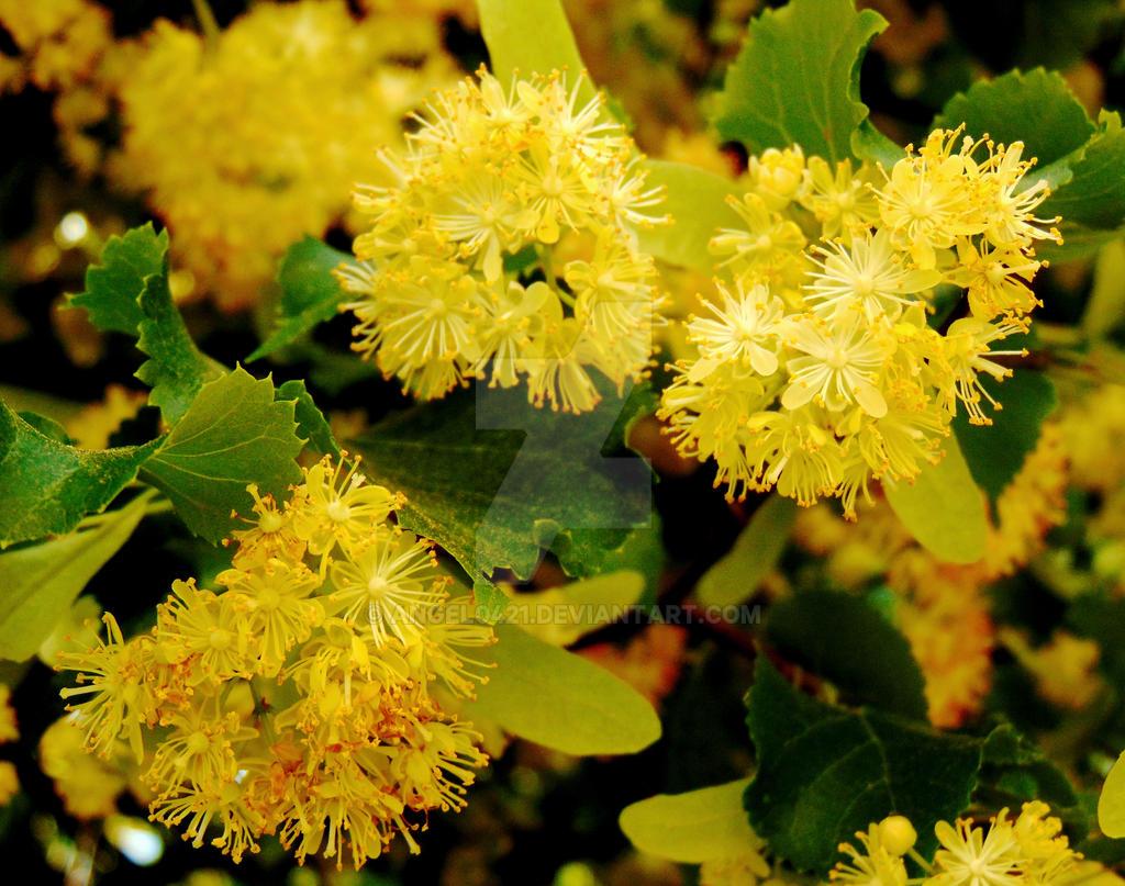 Linden Flower by angel0421 on DeviantArt