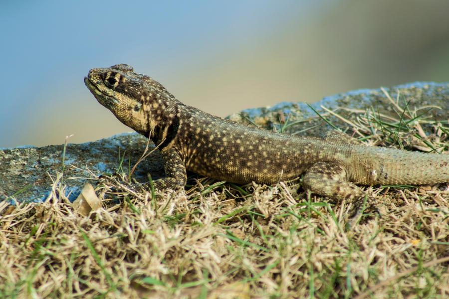 Little lizard by r-assumpcao