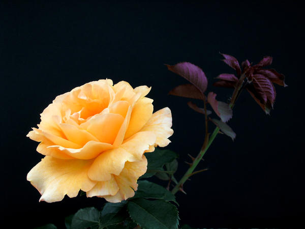 Orange Cream Rose by Lunatron
