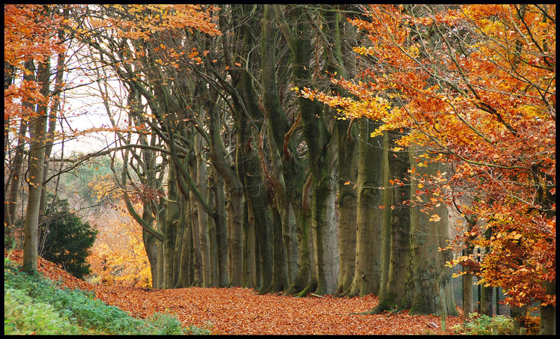A November beech-tree line by jchanders
