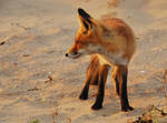 There was a young fox ... by jchanders