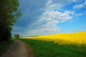 Morning walk at the rapeseed field by jchanders