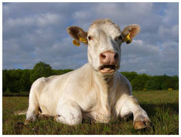 Spring Cow