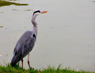 A keen-eyed visitor at our local pond