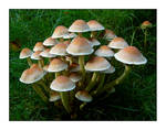Another bunch of mushrooms