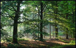 Beech trees in morning light