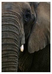 Elephant by y2jenn