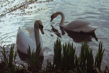Swans by Kestrad
