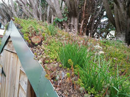 Green roof shed update 2018 Autumn close up by Bubblypies